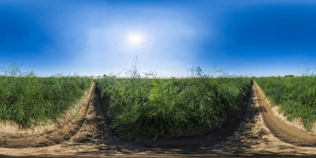 Campi di asparagi - Asparagus