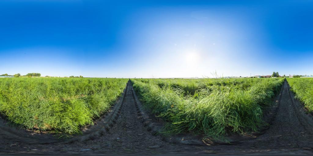 Cultivation asparagus - Asparagus